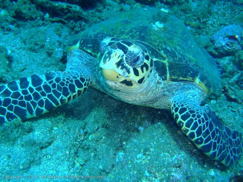 Zee-schildpad