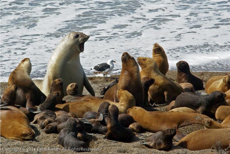 zeeolifant-wordt-boos