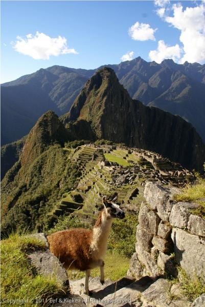Lama-en-Machu-Picchu