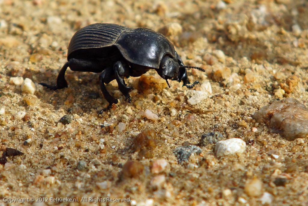 11 Dung Beetle
