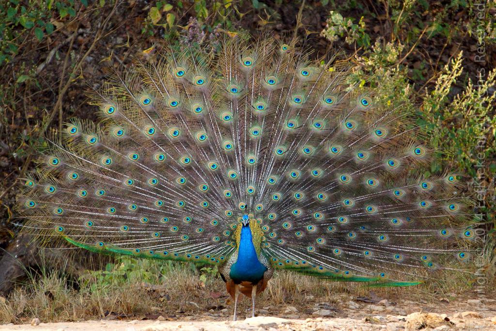 11.5 Peacock