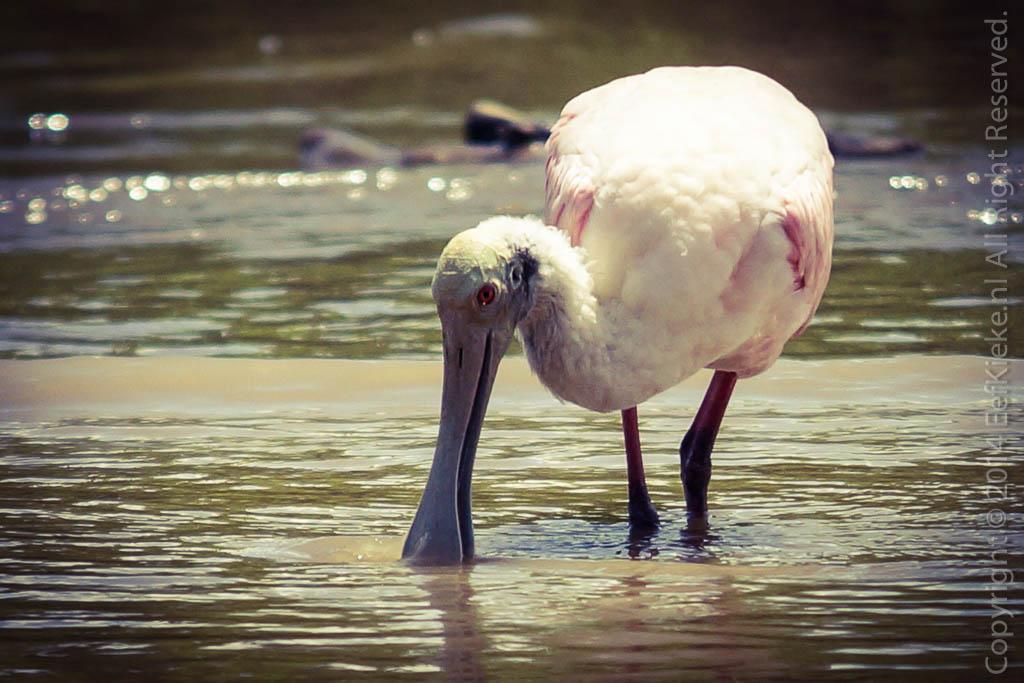 3.8 Pink Spoonbill