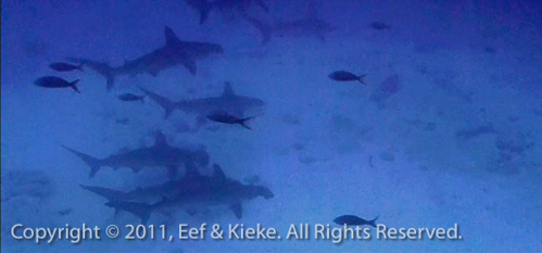 31.2 school hammerheads sharks