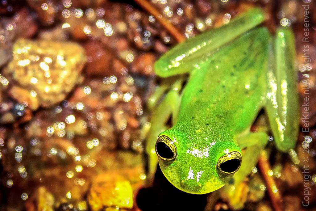 6.5 Glass frog