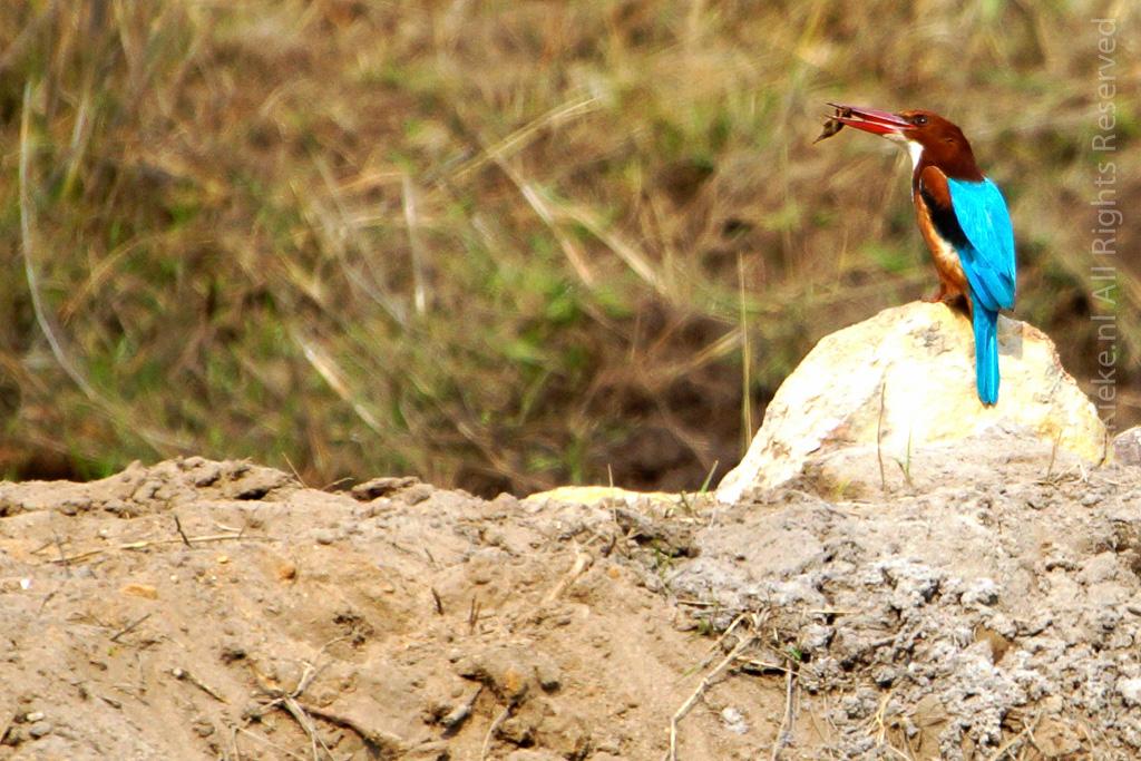 9.2 Kingfisher catch
