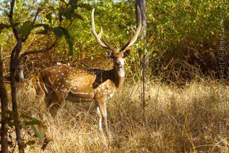 07.4-Spotted-deer