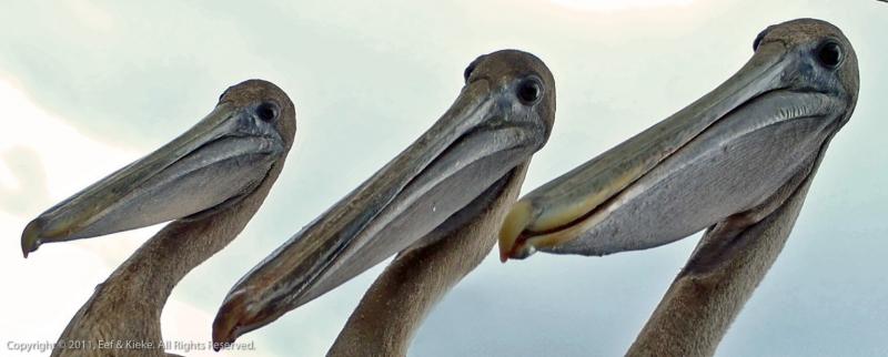 01-er-zaten-3-pelikanen-al-boven-op