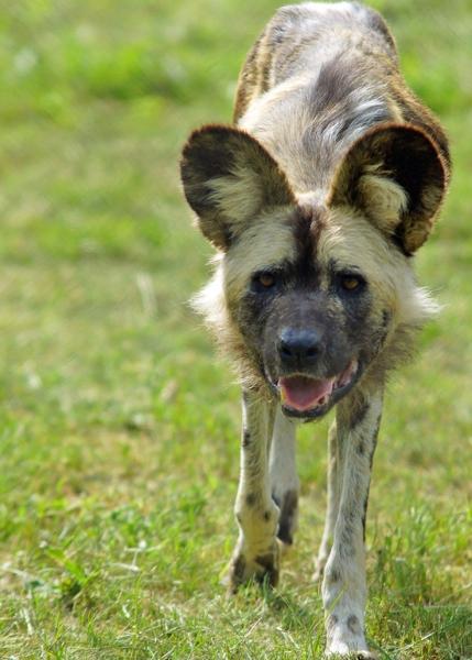 18a-Wild-dog1