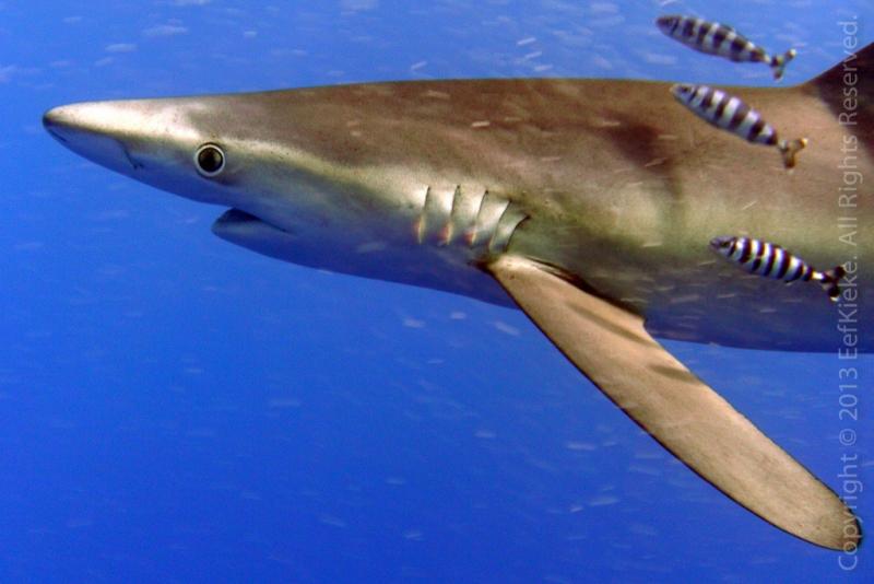 30-Haai-met-vriendjes