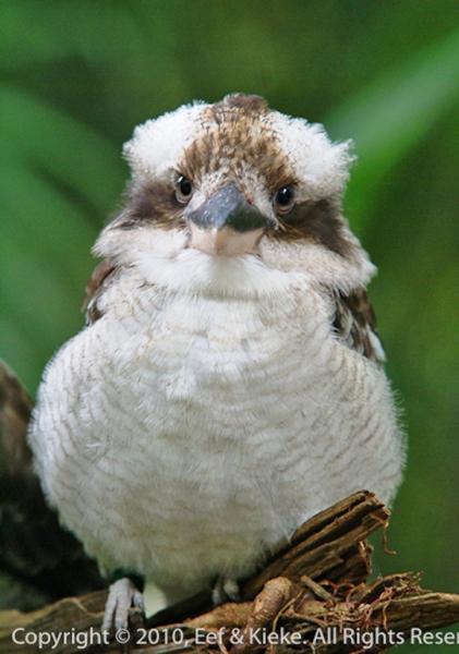 Kookabura-2