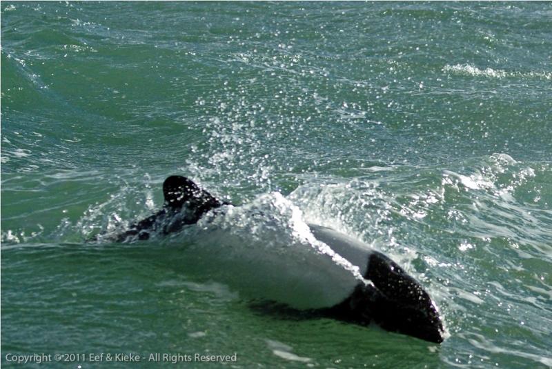 commersons-dolfijn