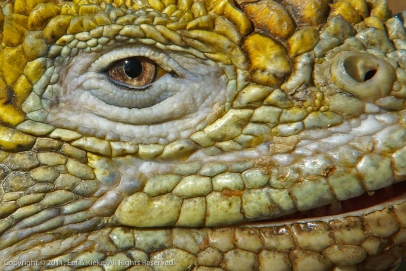 dag-3-03-close-up-leguaan