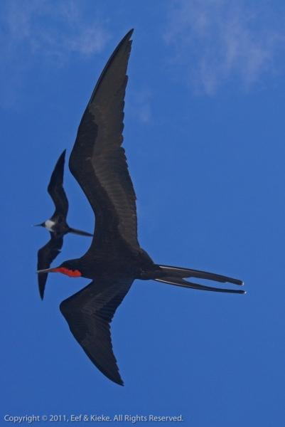 dag-3-06-fergatvogel-koppeltje