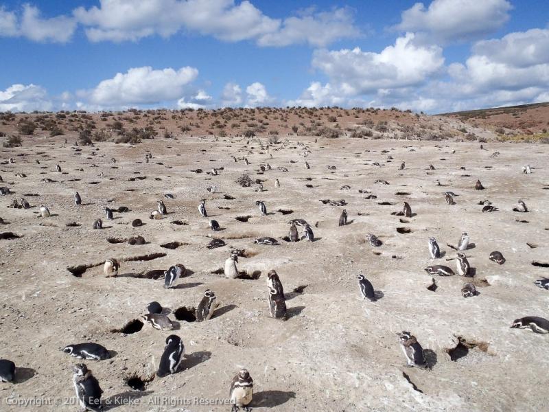 magallenic-pinguin-kolonie