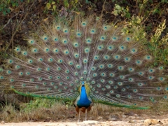 11.5-Peacock