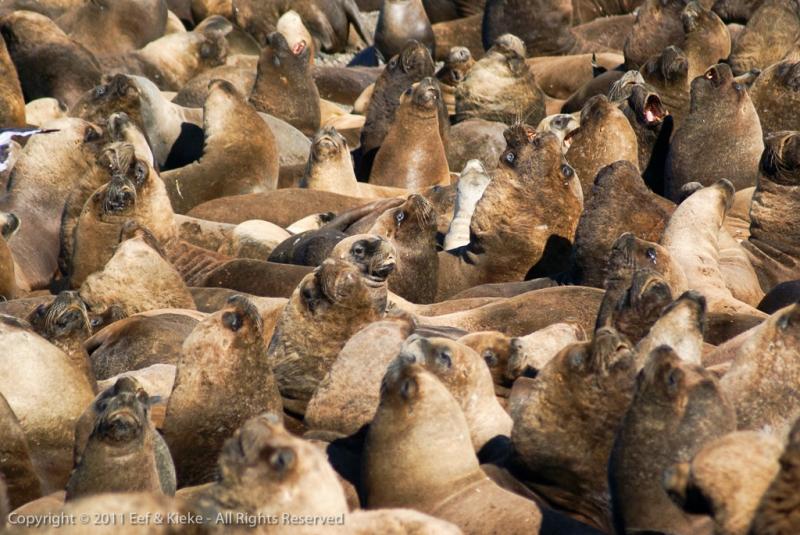 zeeleeuwen-kolonie