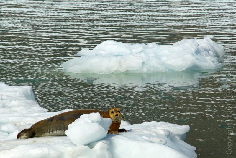 18.-Baardrob-op-ijsschots