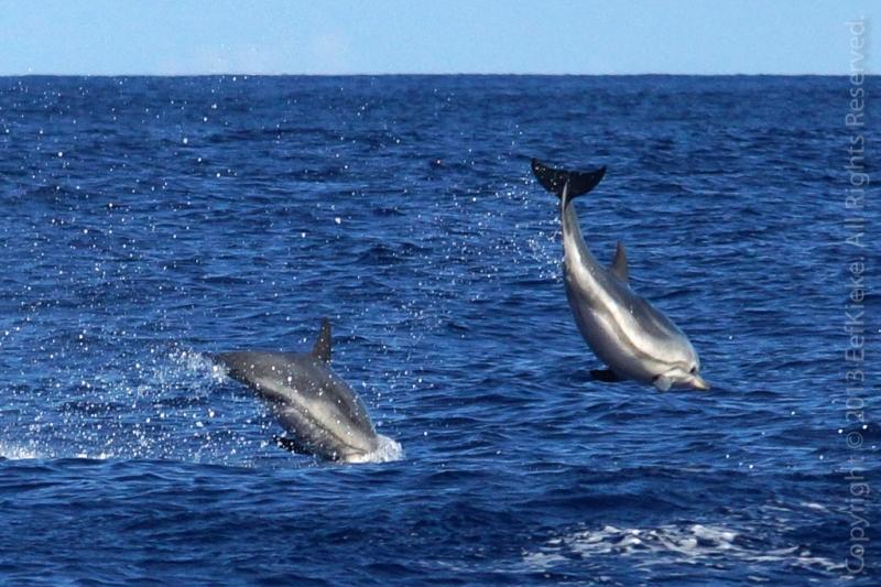 26-Gestreepte-dolfijn
