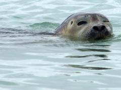 18-Habour-seal-knipoog