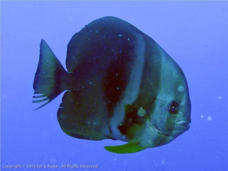 10-Batfish