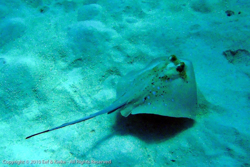 Blue-spotted-sting-ray-2