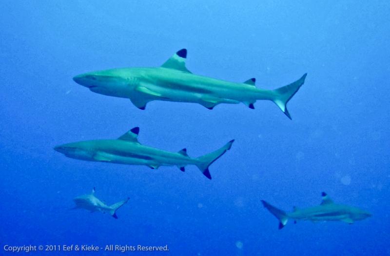 Nog-meer-haaien