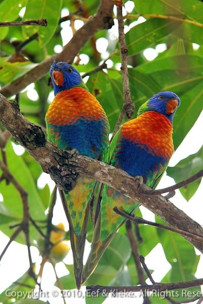 Papegaaitjes-2