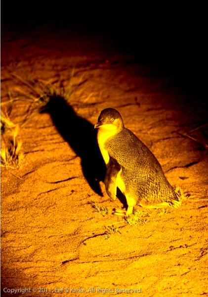 Schaduw-pinguin-2