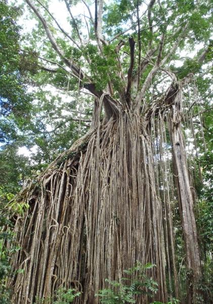 fig-tree-2