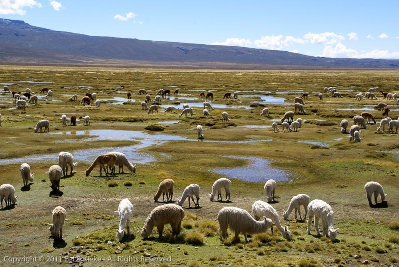 Alpaca-uitlaatveldje