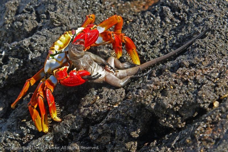 Krab-wurgt-leguaantje