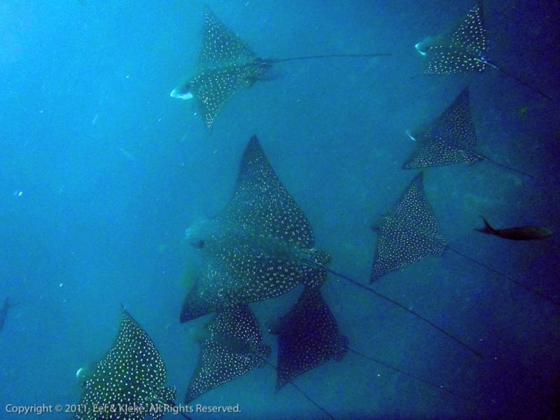 duiken-06-school-eagle-rays