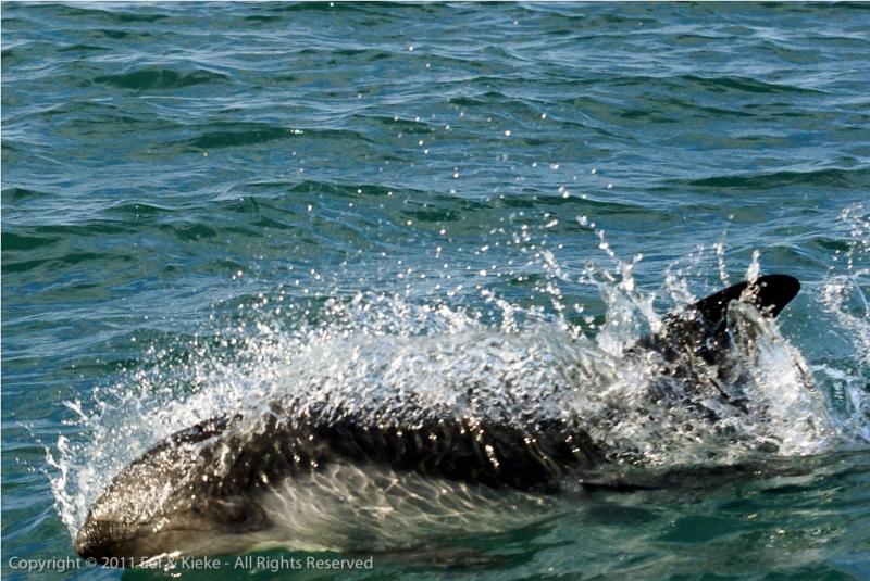 grijze-dolfijn