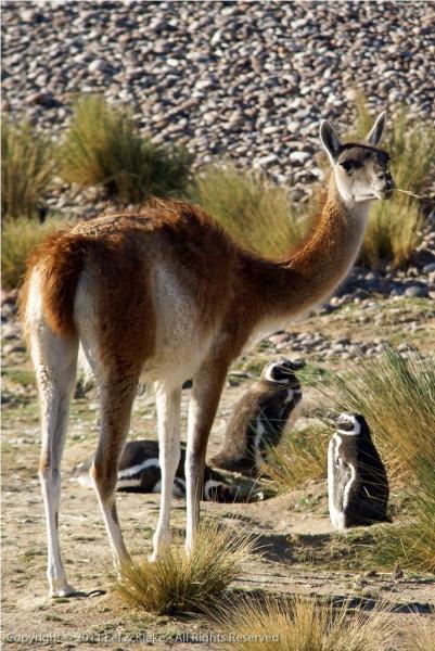 guanaco-op-bezoek-bij-pinguin