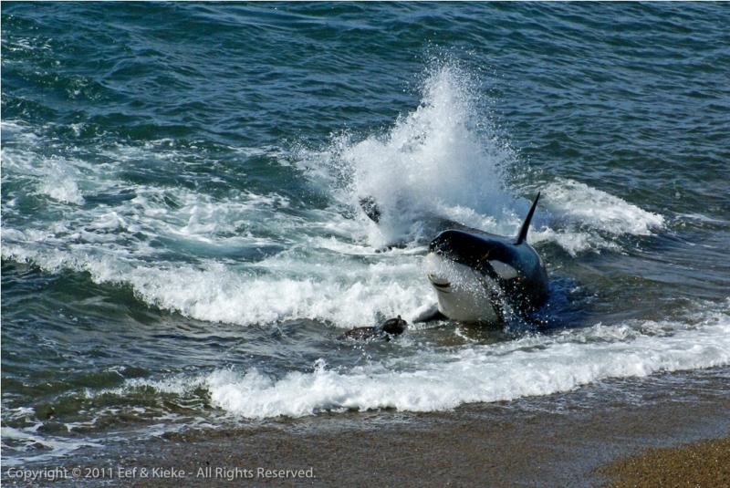 orka-vangt-zeewier