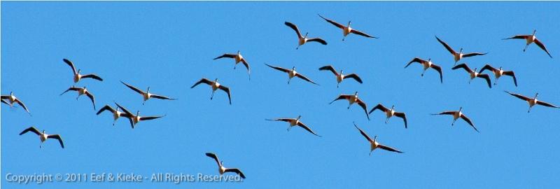 overstekende-flamingos