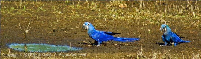 papegaaien-op-de-grond