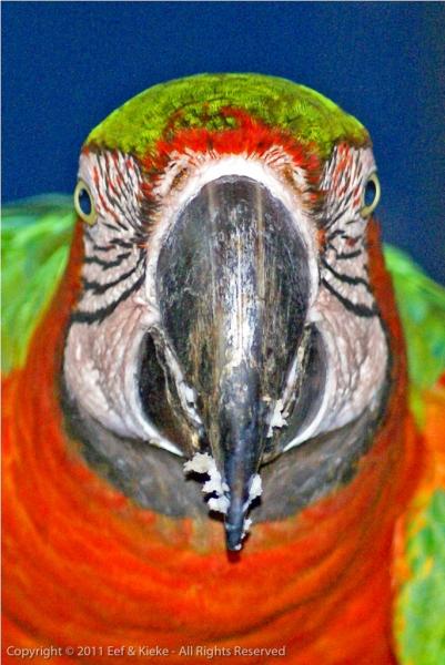 papegaaitje