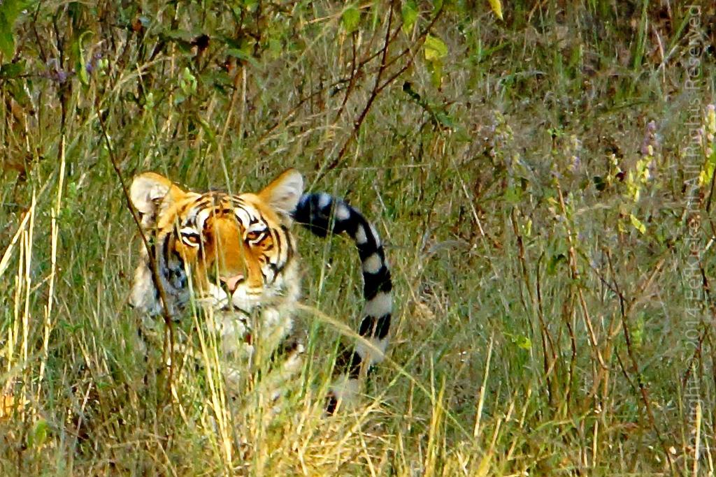 09.1 Tiger tail