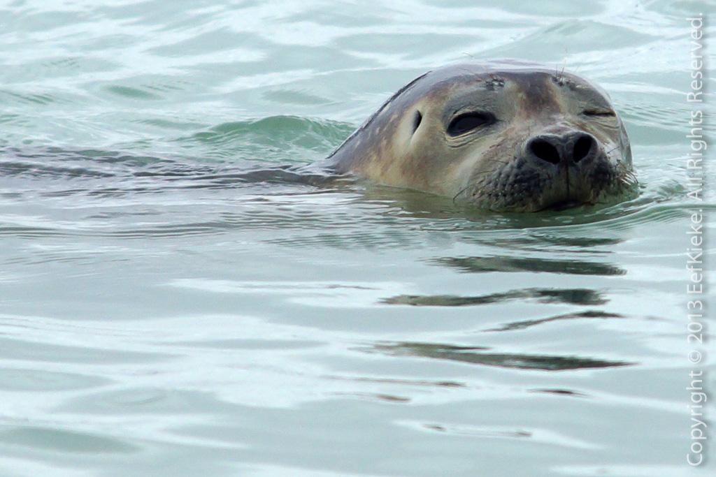 18 Habour seal knipoog