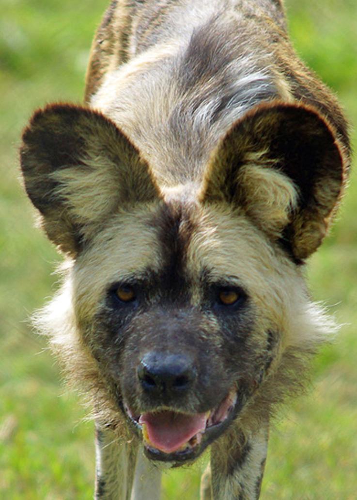 18a Wild dog