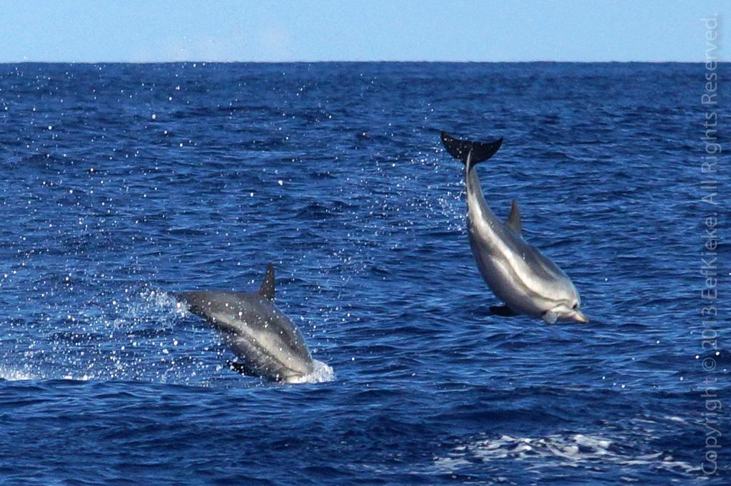 26 Gestreepte dolfijn