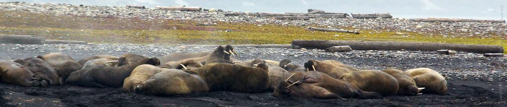 28. Dampende walrussen