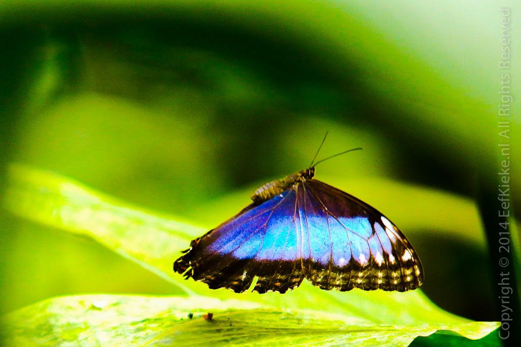 4.3 Blue Morpho