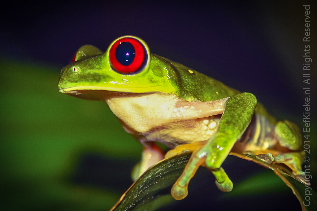 6.1 Red eyed tree frog