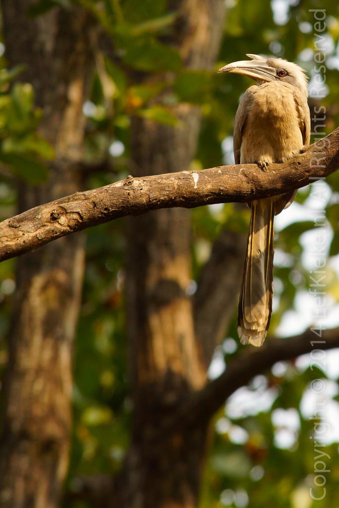 6.3 Grijze Neushoornvogel