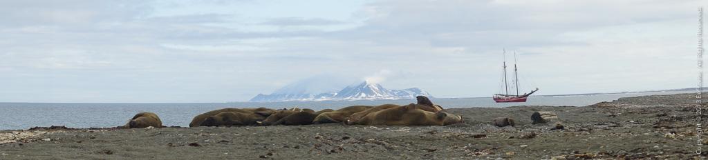 8 Walrussenkolonie