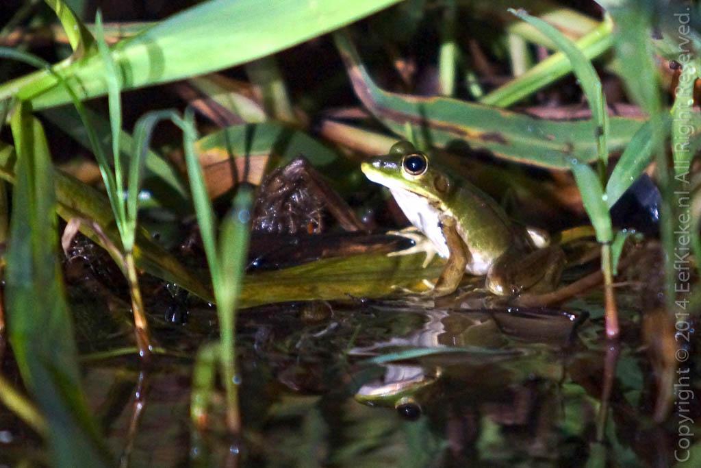8.4 Dubble frog