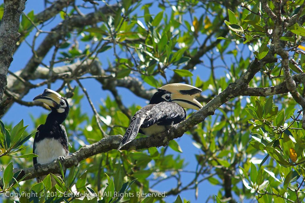 Neushoornvogel paartje