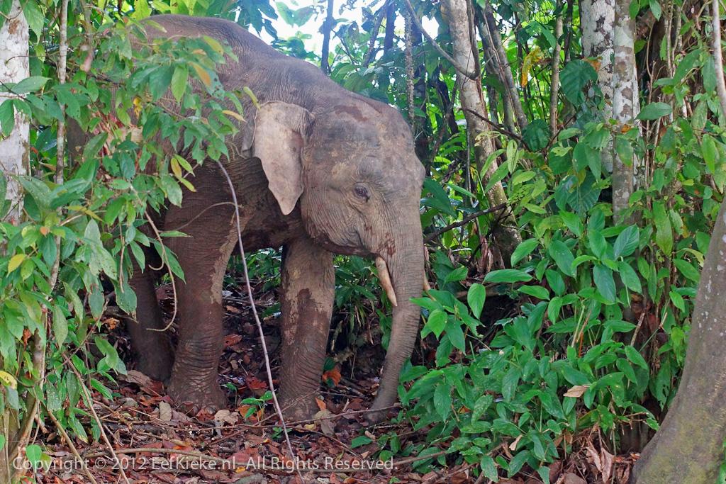 Pygmee olifant-1